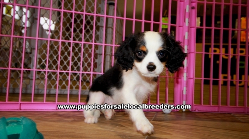 Cavcalier King Charles Spaniel puppies for sale near Gwinnett County Ga (7)