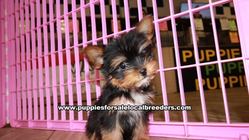 Teacup Yorkie Puppies for sale in Georgia Ga (7)