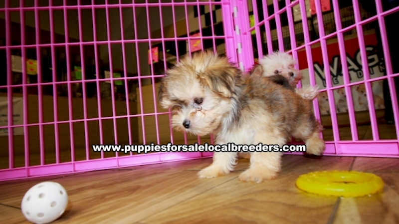 Morkie Puppies for sale in Georgia Ga (1)