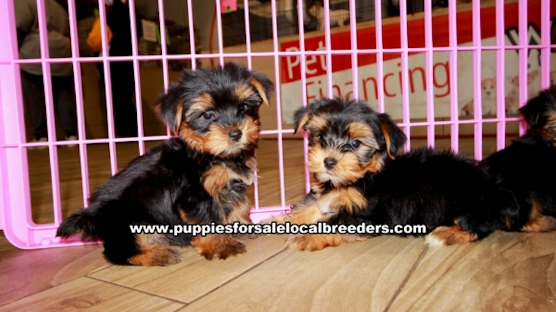 Yorkie Puppies for sale in Georgia Ga (9)