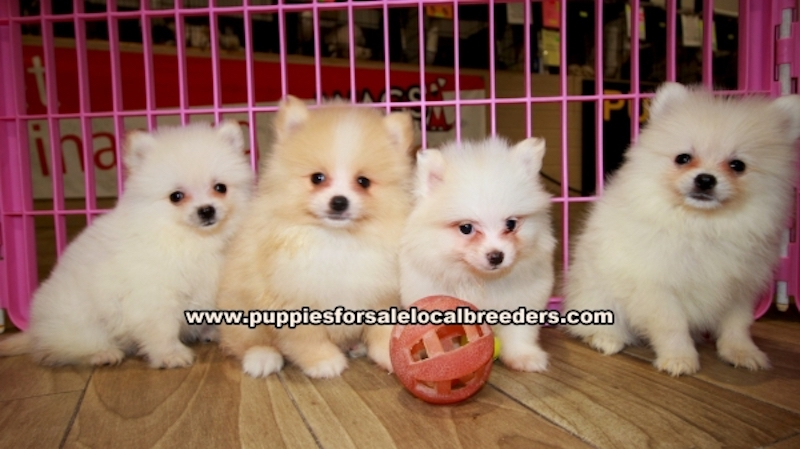 Pomeranian, Puppies For Sale In Georgia, Local Breeders, Near Atlanta, Ga
