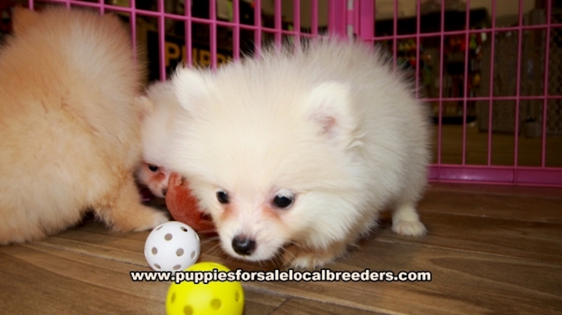 Pomeranian Puppies for sale in Georgia Ga (4)