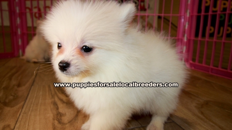 Pomeranian Puppies for sale in Georgia Ga (6)