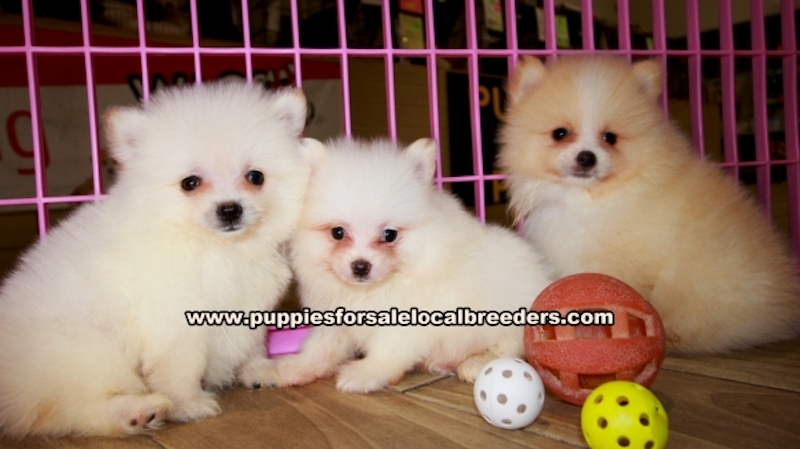 Pomeranian Puppies for sale in Georgia Ga (7)