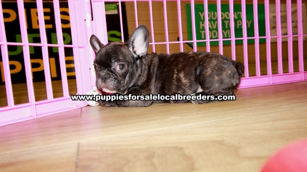 Black Brindle French Bulldog Puppies for sale in Georgia Ga (4)