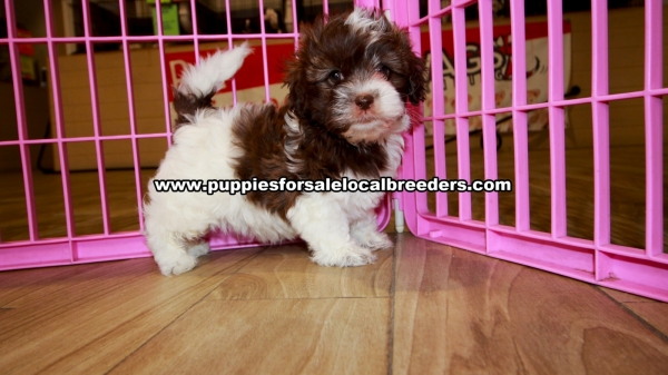 Chocolate Shih Poo Puppies for sale in Georgia Ga (7)