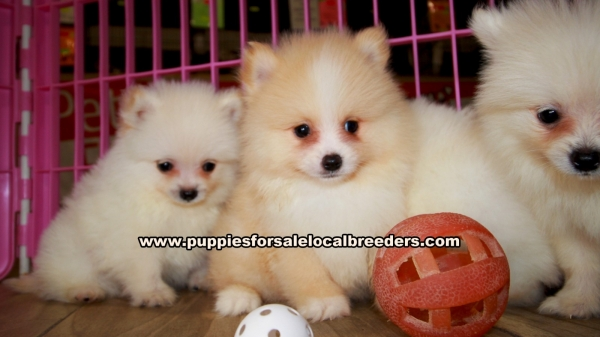 Pomeranian Puppies for sale in Georgia Ga (3)