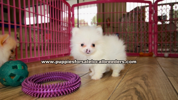 Teacup Pomeranian Puppies for sale in Georgia Ga (3)
