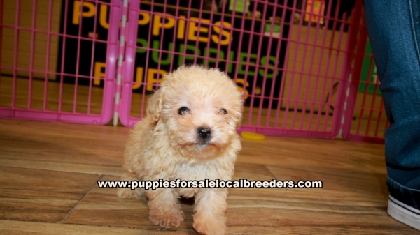 Apricot Toy Poodle Puppies for sale in Georgia Ga (6)