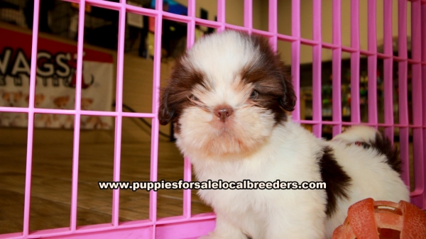 Shih Tzu Puppies for sale in Georgia Ga (6)