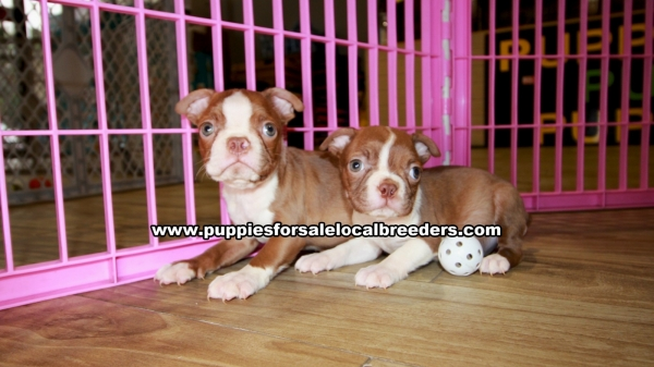 Red Boston Terrier Puppies for sale in Georgia Ga (1)
