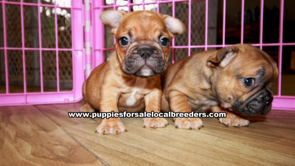Red Fawn French Bulldog Puppies for sale in Georgia Ga (5)