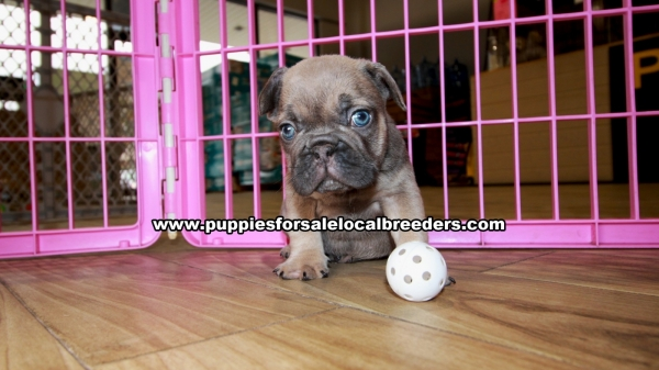 Lilac french Bulldog Puppies for sale in Georgia Ga (5)