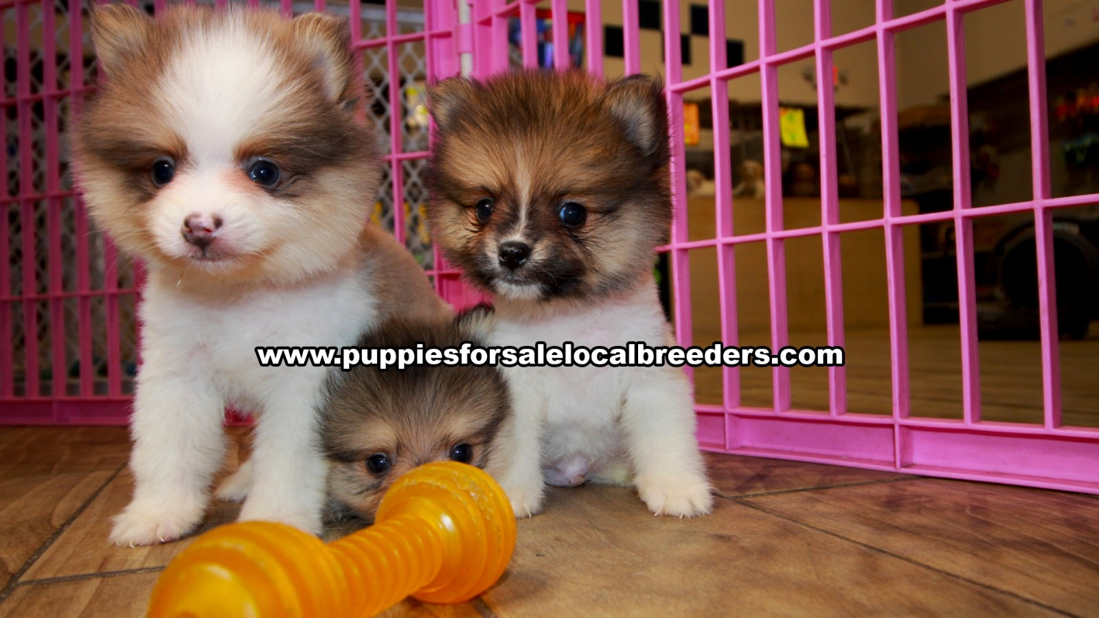 Small Pomeranian, Puppies For Sale In Georgia, Local Breeders, Near Atlanta, Ga