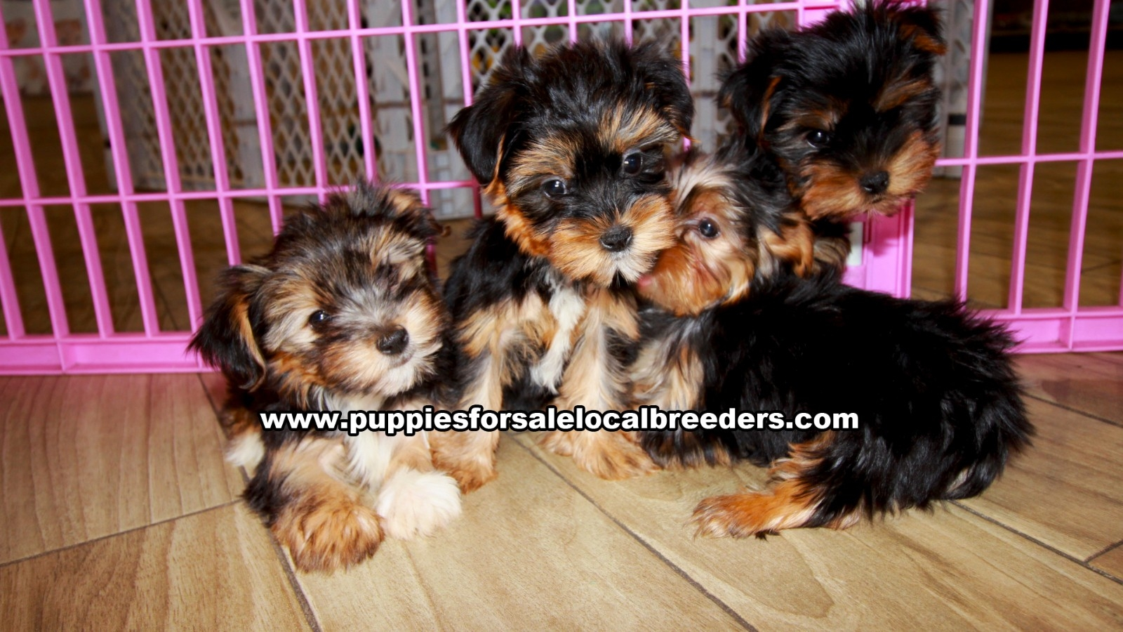 Yorkie, Puppies For Sale In Georgia, Local Breeders, Near Atlanta, Ga