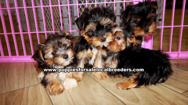 Morkie Puppies for sale in Georgia Ga (4)