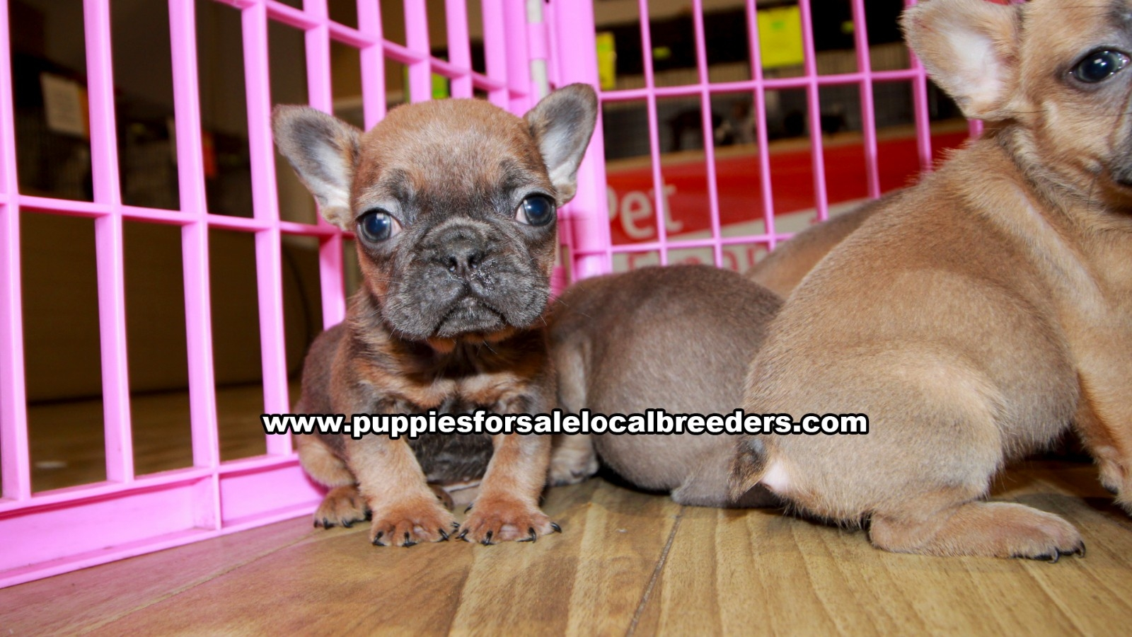 Blue Fawn French Bulldog, Puppies For Sale In Georgia, Local Breeders, Near Atlanta, Ga