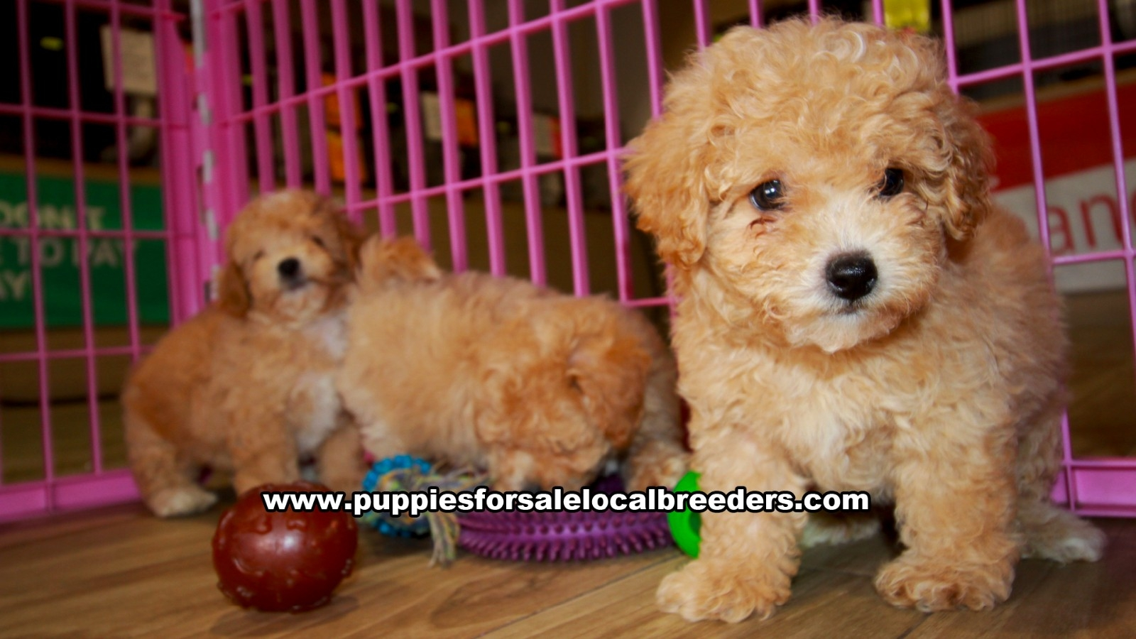 Apricot Bichon Poo, Puppies For Sale In Georgia, Local Breeders, Near Atlanta, Ga