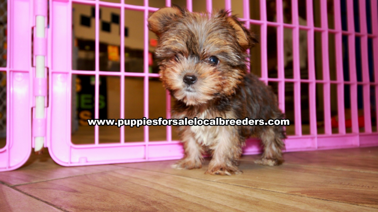 Gold Yorkie, Puppies For Sale In Georgia, Local Breeders, Near Atlanta, Ga