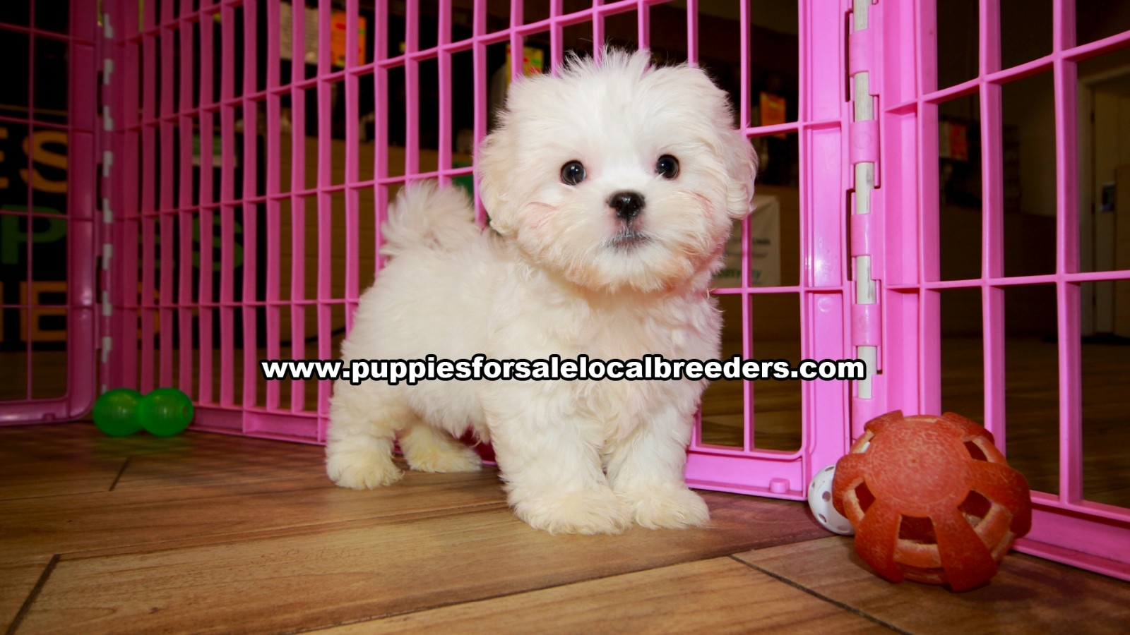 White Malti Tzu, Puppies For Sale In Georgia, Local Breeders, Near Atlanta, Ga