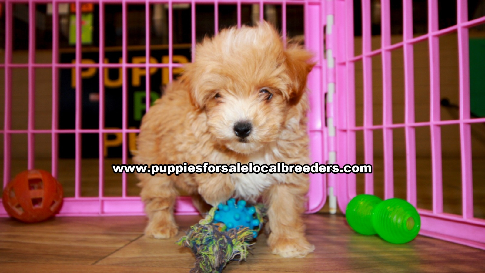 Red Pomapoo, Puppies For Sale In Georgia, Local Breeders, Near Atlanta, Ga
