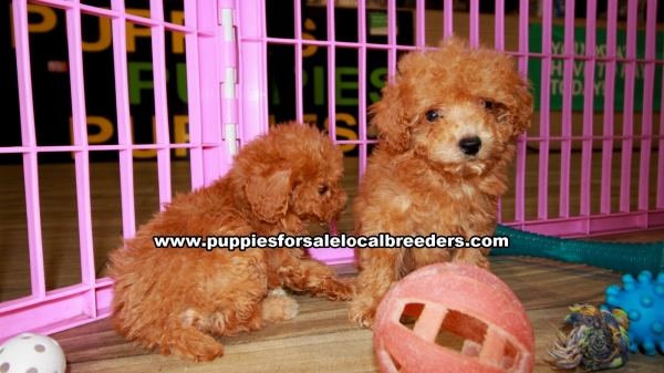 Red Toy Poodle Puppies for sale in Georgia Ga (7)