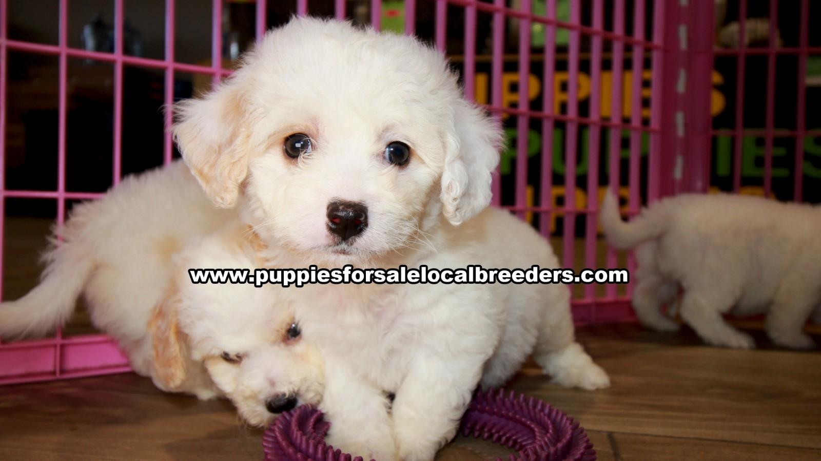 White Cavachon, Puppies For Sale In Georgia, Local Breeders, Near Atlanta, Ga