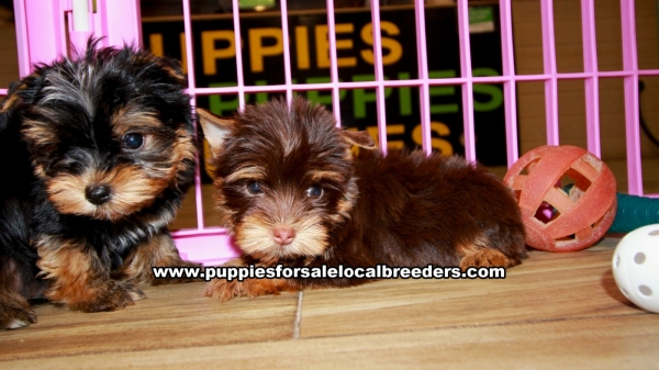 Chocolate Yorkie Puppies for sale in Georgia Ga (12)