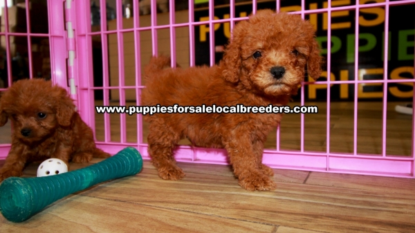 Red Cavapoo Puppies for sale in Georgia Ga (1)