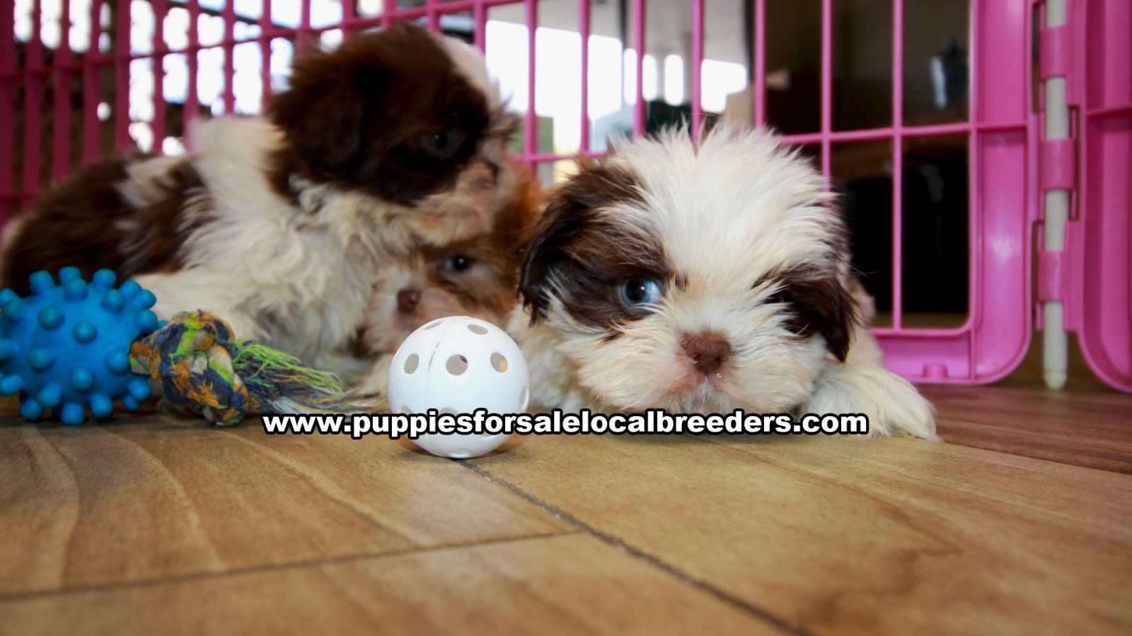 Chocolate Shih Tzu, Puppies For Sale In Georgia, Local Breeders, Near Atlanta, Ga