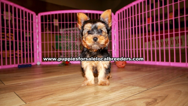 Yorkie Puppies for sale in Georgia Ga 3-20 (9)