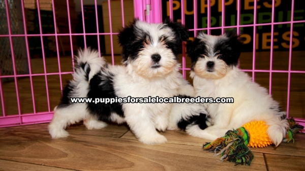 Morkie Puppies for sale in Georgia Ga 3-19 (5)