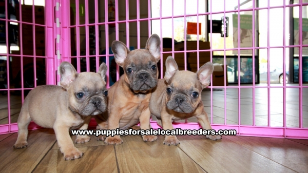 Lilac French Bulldog Puppies for sale in Georgia Ga 3-19 (11)