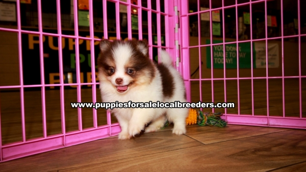 Pomeranian Puppies for sale in Georgia Ga 3-19 (2)