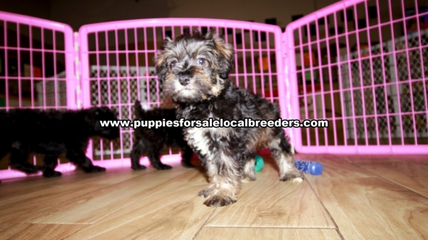 Schnoodle Puppies for sale in Georgia Ga 3-19 (8)