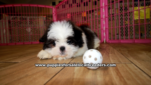 Shih Tzu Puppies for sale in Georgia Ga 3-19 (2)