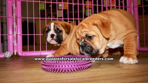 English Bulldog Puppies for sale in Georgia Ga 3-20 (3)