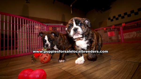 Brindle English Bulldog Puppies for sale in Georgia Ga 3-26 (1)