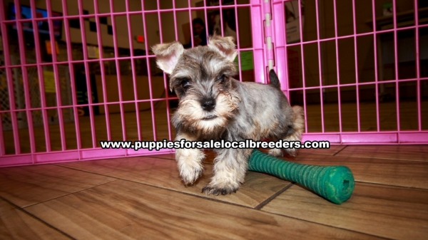Mini Schnauzer Puppies for sale in Georgia Ga 3-26 (1)
