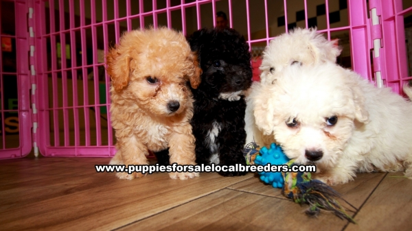 Bichon Poo Puppies for sale in Georgia Ga 3-27 (6)
