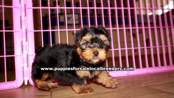 Yorkie Poo Puppies for sale in Georgia Ga 3-27 (8)