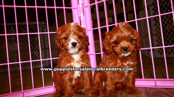 Cavapoo Puppies for sale in Georgia Ga (11)