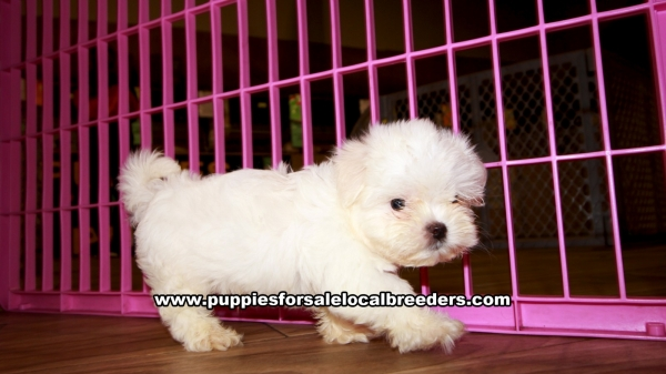 Maltese Puppies for sale in Georgia Ga (4)