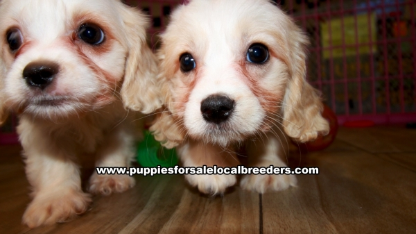 Cavachon Puppies for sale in Georgia Ga (10)