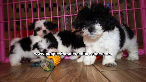 Morkie Puppies for sale in Georgia Ga (12)