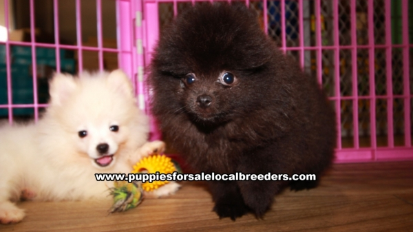 Pomeranian Puppies for sale in Georgia Ga (8)