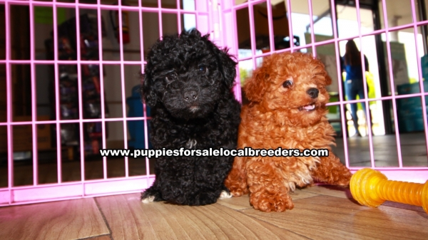 Poodle Puppies for sale in Georgia Ga (3)