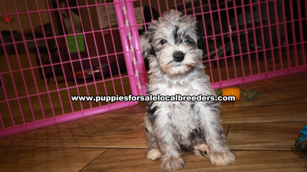 Schnoodle Puppies for sale in Georgia Ga (10)