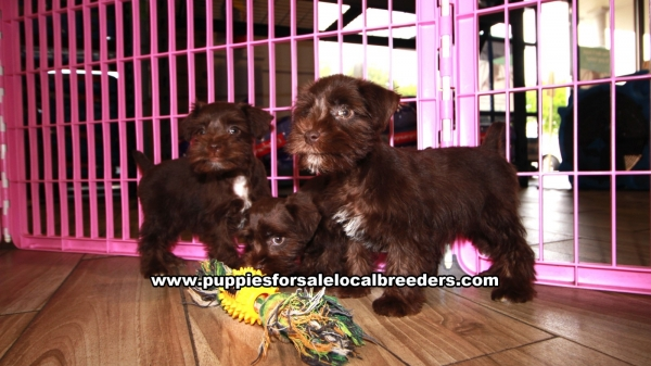 Chocolate Mini Schnauzer Puppies for sale in Georgia Ga 4-24 (2)