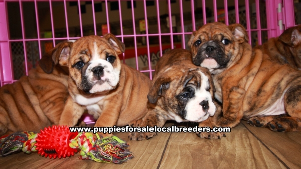 Brindle English Bulldog Puppies for sale in Georgia Ga 4-24 (3)